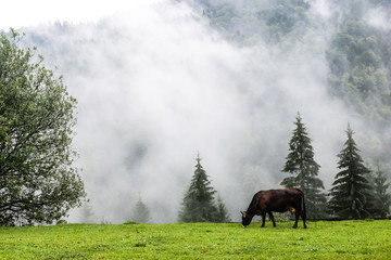 A cow eating grass near foggy forest at Carpathians