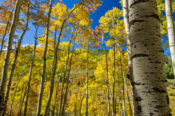 Colorful aspens in Fall