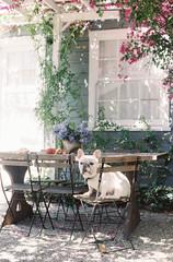 French bulldog sitting on chair in backyard