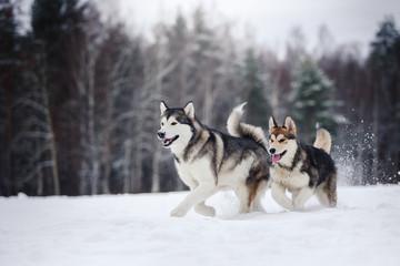 two dogs breed Alaskan Malamute walking in winter