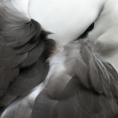 Close up of albatross face obscured by wings