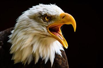 Poster Eagle Captive Bald Eagle at Hawk Conservancy Trust.