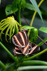 Mating Tiger longwing butterflies