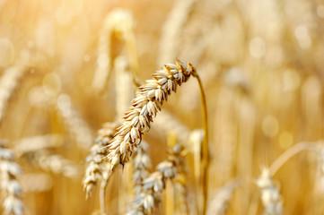 Ripe ears wheat. Close-up