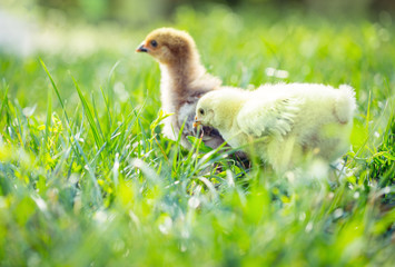 Little chicken in the grass