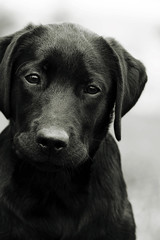 Cute black dog puppy Labrador looking right at you, causing pity