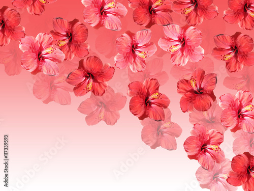 Fototapete Beautiful floral background with red hibiscus flower