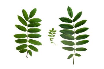 Set of rowan tree leaves isolated on white background