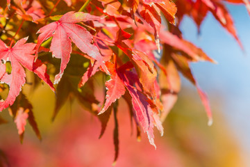Red maple leaf in forest in fall season, autumn background.