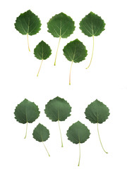 Aspen leaves isolated on white background, upper and downside