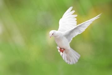 Foto En Lienzo - White Dove on green Bokeh