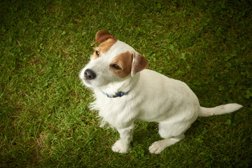 Jack Russell Parson Terrier dog sitting on grass lawn