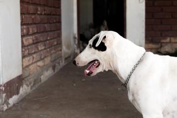 funny bull terrier.