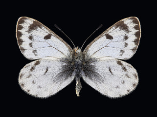 Butterfly Baltia shawiii on a black background