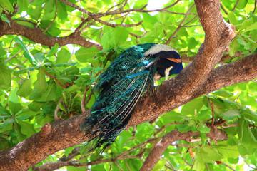 Peafowl in nature