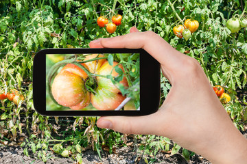 gardener photographs tomato in garden