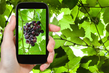 bunch of red grapes on smartphone
