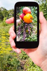 farmer photographs harvest of tomatoes in garden