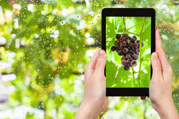 bunch of red grapes on tablet pc