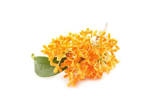 flowers of sweet osmanthus