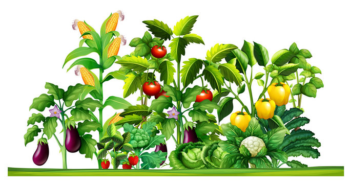 Fresh vegetable plants growing in the garden