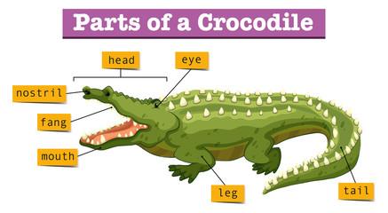 Diagram showing parts of crocodile
