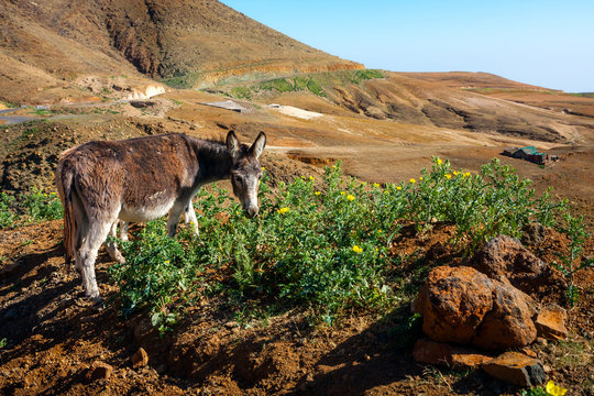 Donkey grazing in mountains of Santo Antao, Cape Verde