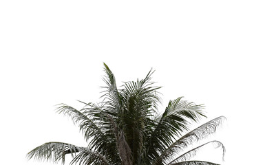 Leaves of palm tree on isolated and white background.