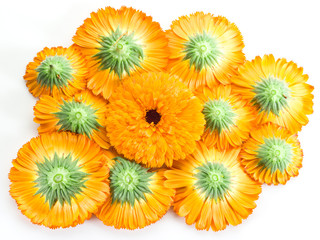 Orange calendula or marigold flower heads on a white background.