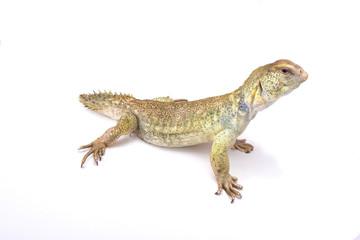 Princely spiny-tailed lizard (Uromastyx princeps), Somalia