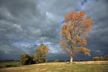 Poplar Tree is Bent by Autumn Storm, Leaves changing colour, dramatic Lighting and Clouds