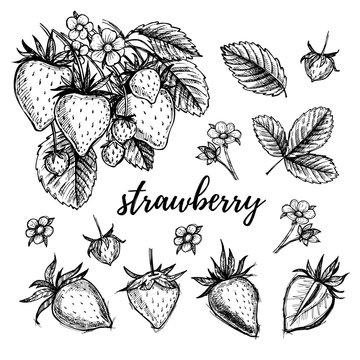 Hand drawn vector illustration - Strawberry set (plant, berries,