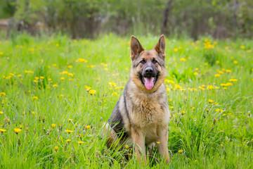Dog sitting in the grass. Breed German shepherd. age 1 year