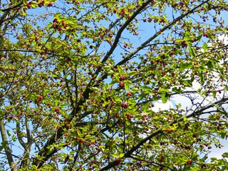 Mulberry tree (Morus Alba) with berries