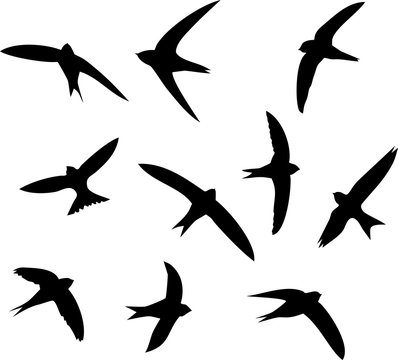 Silhouettes of flying swifts