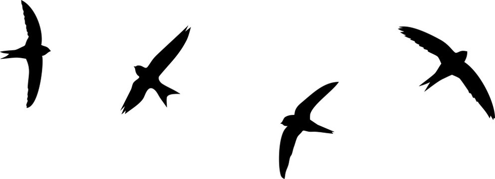 """7 BEST """"Silhouette Of Flying Swift"""" IMAGES, STOCK PHOTOS & VECTORS 