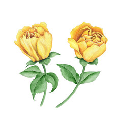 Watercolor floral image with yellow rose flowers