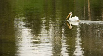 White Pelican Bird Swims Yellowstone Lake National Park Wild Animal