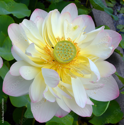 lotus flower, nelumbo nucifera, known by a number of names, Beautiful flower