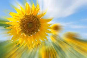 Sunflower field and blue sky with blur motion image