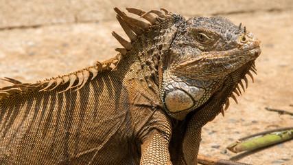 Iguanas in Hondurs