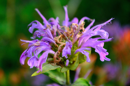 Booming Purple Lavender Horsemint Flower, Bee Balm, Oswego Tea,