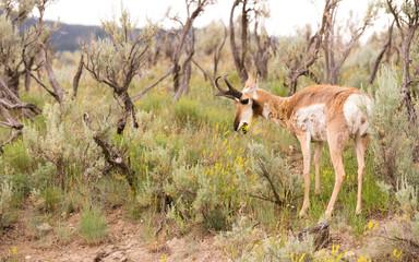 Adult Pronghorn Grazing Pasture Wild Animal Yellowstone