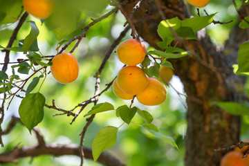 ripe apricots on tree before harvest