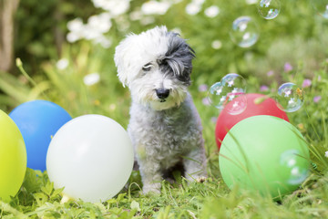 white small poodle dog celebrating his birthday party in a blooming garden with balloons and soap bubbles