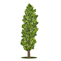 detached tree poplar with green leaves