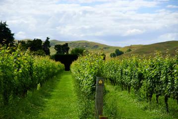 Vineyard rows in Hawkes Bay New Zealand