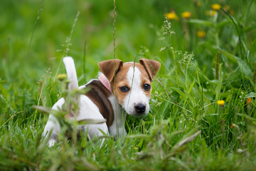Cheerful puppy Jack Russell Terrier