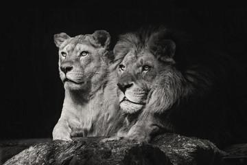 Чета/Африканские львы Зевс и Нати в зоопарке г. Новосибирска
