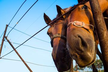 Two funny horses looking at camera